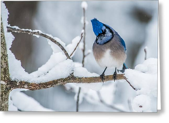 Inexpensive Greeting Cards - Blue Jay Greeting Card by Paul Freidlund