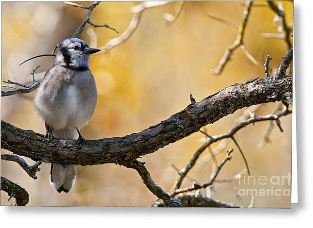 Blue Jay Images Greeting Cards - Blue Jay Pictures 149 Greeting Card by World Wildlife Photography