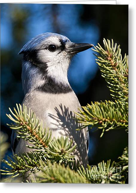 Blue Jay Images Greeting Cards - Blue Jay Pictures 187 Greeting Card by World Wildlife Photography