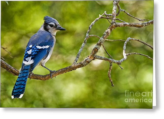 Blue Jay Picture Greeting Cards - Blue Jay Pictures 229 Greeting Card by World Wildlife Photography