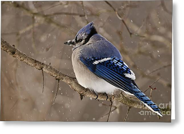 Blue Jay Picture Greeting Cards - Blue Jay Pictures 284 Greeting Card by World Wildlife Photography