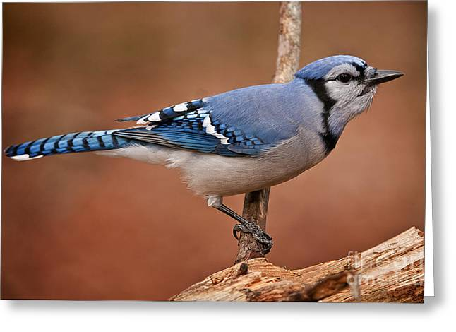Blue Jay Picture Greeting Cards - Blue Jay Pictures 302 Greeting Card by World Wildlife Photography