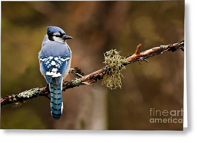 Blue Jay Picture Greeting Cards - Blue Jay Pictures 310 Greeting Card by World Wildlife Photography