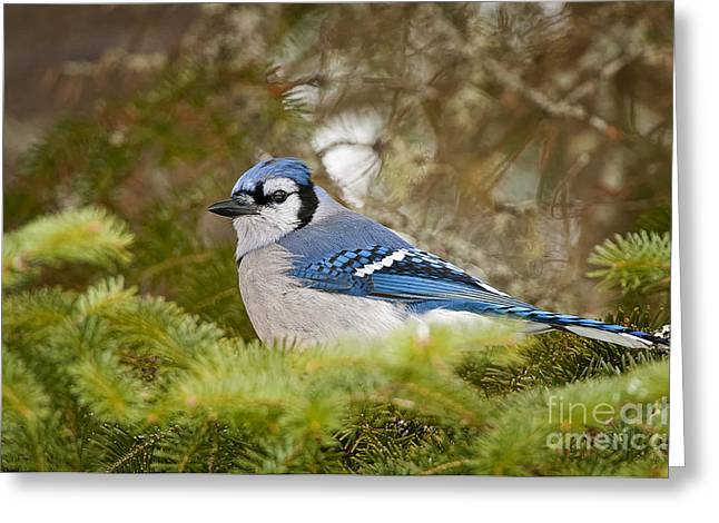 Blue Jay Picture Greeting Cards - Blue Jay Pictures 324 Greeting Card by World Wildlife Photography