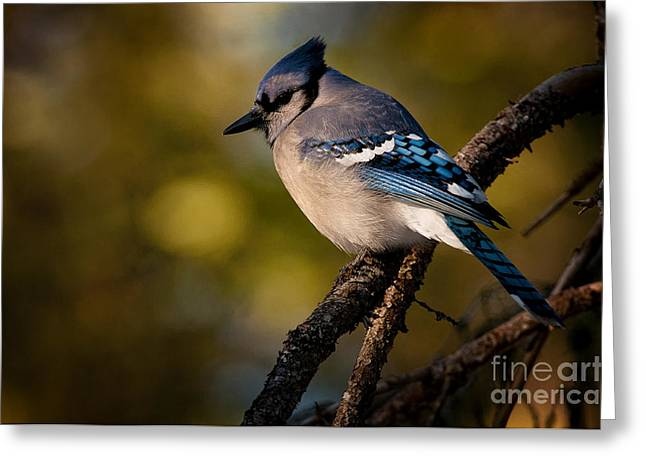 Blue Jay Images Greeting Cards - Blue Jay Pictures 362 Greeting Card by World Wildlife Photography