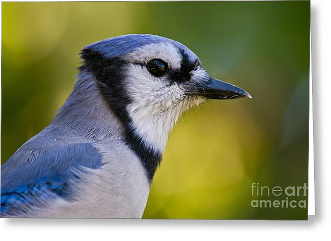 Blue Jay Picture Greeting Cards - Blue Jay Pictures 383 Greeting Card by World Wildlife Photography