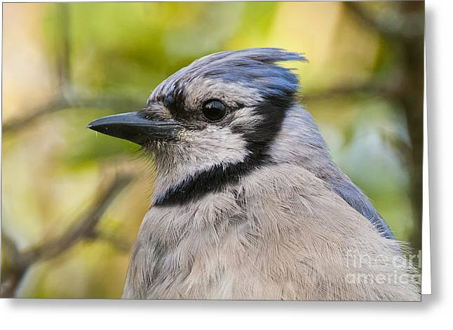 Blue Jay Picture Greeting Cards - Blue Jay Pictures 385 Greeting Card by World Wildlife Photography