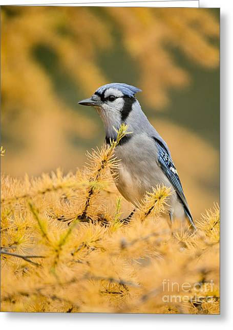 Blue Jay Picture Greeting Cards - Blue Jay Pictures 402 Greeting Card by World Wildlife Photography