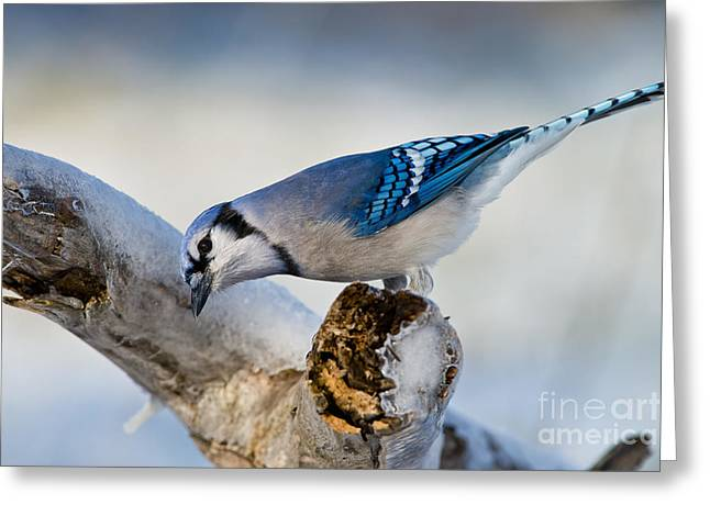 Blue Jay Picture Greeting Cards - Blue Jay Pictures 428 Greeting Card by World Wildlife Photography