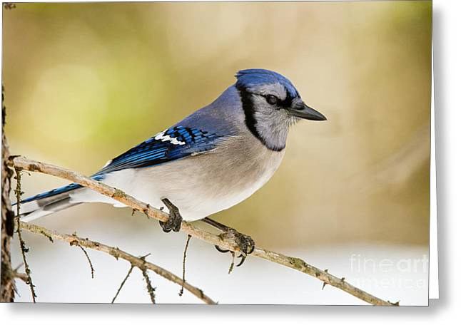 Blue Jay Picture Greeting Cards - Blue Jay Pictures 449 Greeting Card by World Wildlife Photography