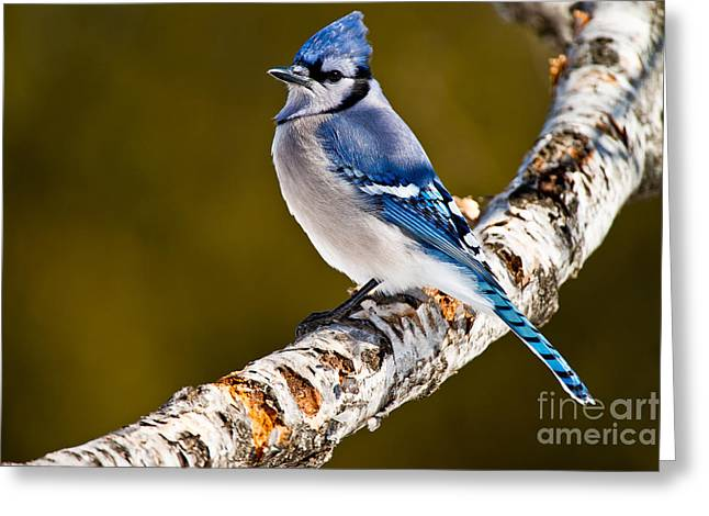 Blue Jay Images Greeting Cards - Blue Jay Pictures 498 Greeting Card by World Wildlife Photography