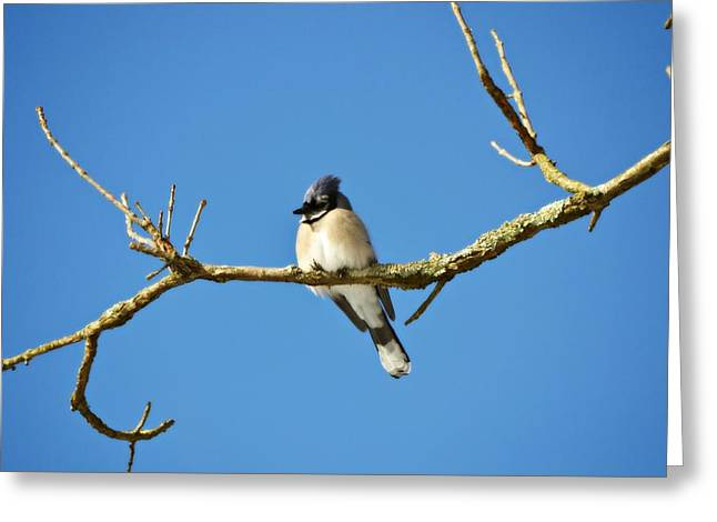 Blue Jay Picture Greeting Cards - Blue Jay Skies Greeting Card by Joni Hill