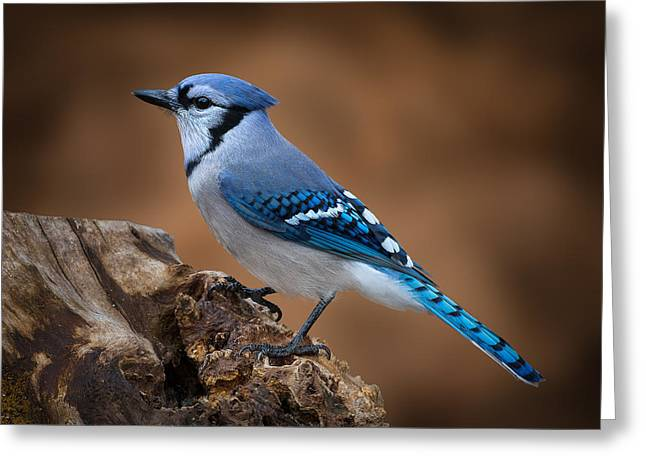 Blue Jay Greeting Card by Steve Zimic
