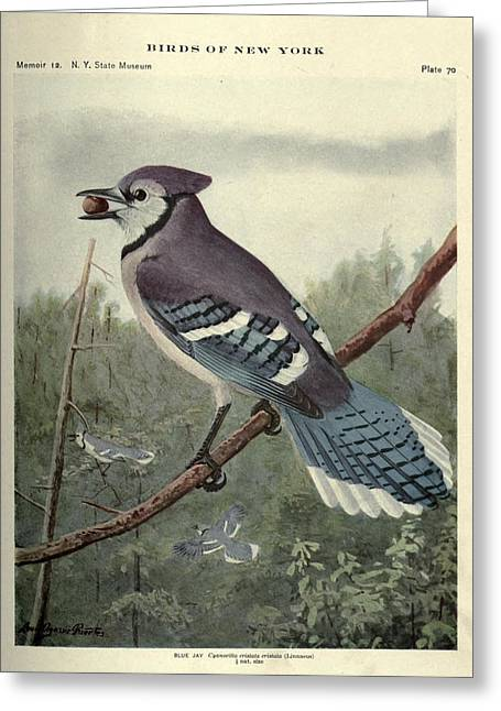 Blue Jay Picture Greeting Cards - Blue Jay Greeting Card by Louis Fuertes