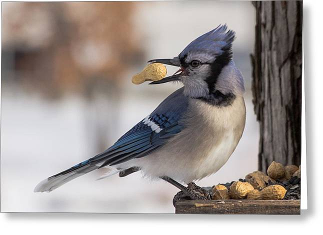 Feeder Framed Prints Greeting Cards - Blue Jay Way Greeting Card by Michael J Samuels