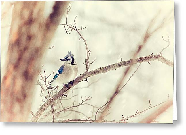 Backyard Wildlife Greeting Cards - Blue Jay Winter Greeting Card by Karol  Livote
