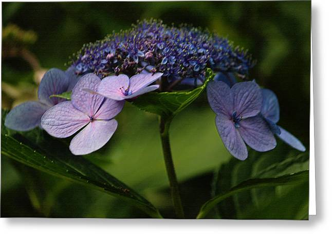 Lacecap Greeting Cards - Blue Lacecap Hydrangea Greeting Card by Suzanne Gaff