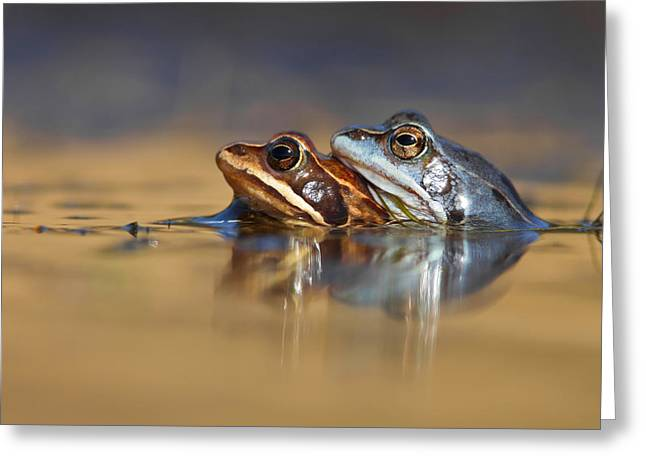 Blue Love ... Mating Moor Frogs  Greeting Card by Roeselien Raimond