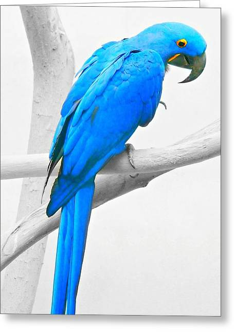 Blue Macaws Greeting Cards - Blue Macaw Greeting Card by Diana Angstadt
