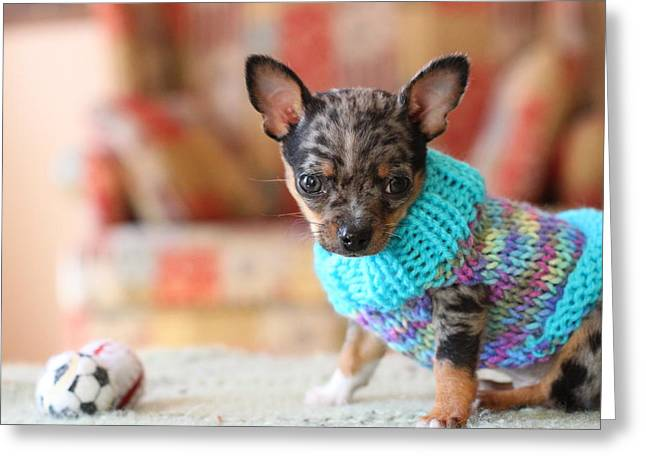 Dog Sweaters Greeting Cards - Blue Merle Chihuahua Greeting Card by Chihuahua Kisses