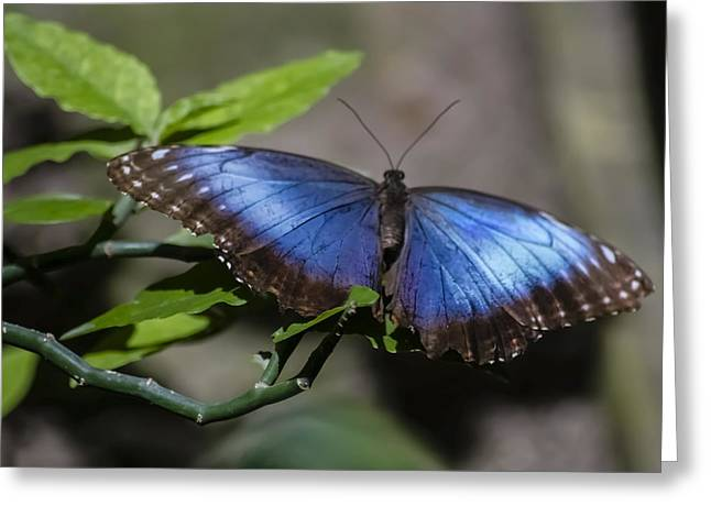 Blue Morph butterfly Greeting Card by Sven Brogren