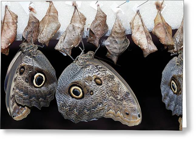 Blue Morpho Butterflies And Cocoons Greeting Card by Dirk Wiersma
