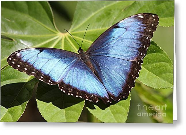 Eve Wheeler Greeting Cards - Blue Morpho Butterfly H-1 Greeting Card by Eve Wheeler