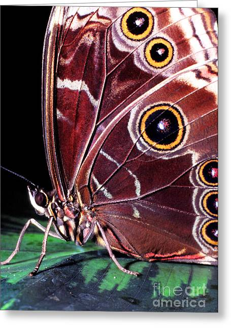 Butterfly Prey Greeting Cards - Blue Morpho Butterfly Greeting Card by Thomas R Fletcher
