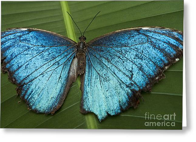 Faunal Greeting Cards - Blue Morpho - Morpho Peleides Greeting Card by Heiko Koehrer-Wagner