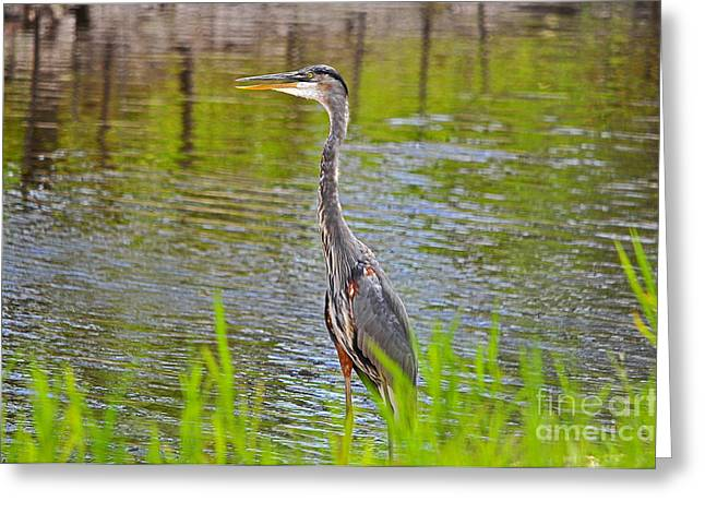 Grey Heron Greeting Cards - Blue on the Bank Greeting Card by Al Powell Photography USA