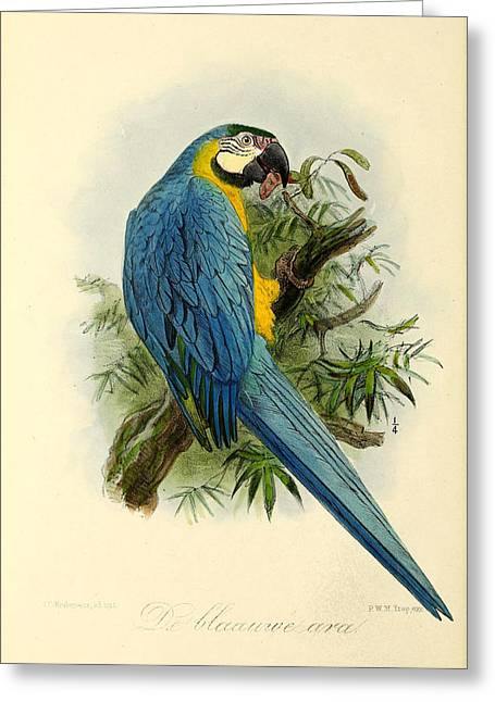 Wild Parrots Greeting Cards - Blue Parrot Greeting Card by J G Keulemans