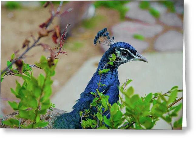 Blue Peacock Green plants Greeting Card by Jonah  Anderson