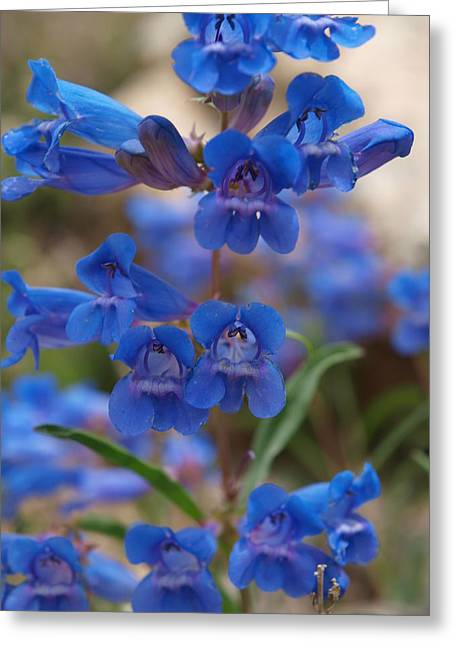 Wells Nevada Greeting Cards - Blue Penstemon Greeting Card by Jenessa Rahn