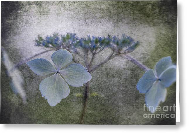 Lacecap Greeting Cards - Blue Petals. Greeting Card by Clare Bambers