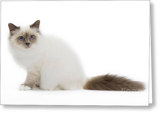 Cats Birman Greeting Cards - Blue Point Birman Kitten Greeting Card by Jean-Michel Labat