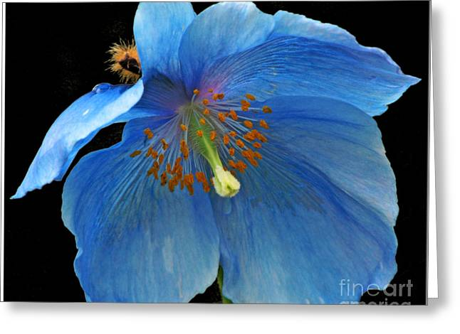 Chris Anderson Photography Greeting Cards - Blue Poppy on Black Greeting Card by Chris Anderson