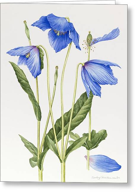Himalayan Greeting Cards - Blue Poppy Greeting Card by Sally Crosthwaite