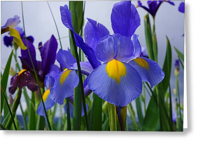 Yellow Bearded Iris Greeting Cards - Blue Purple Iris Flowers Art Prints Greeting Card by Baslee Troutman Art Prints