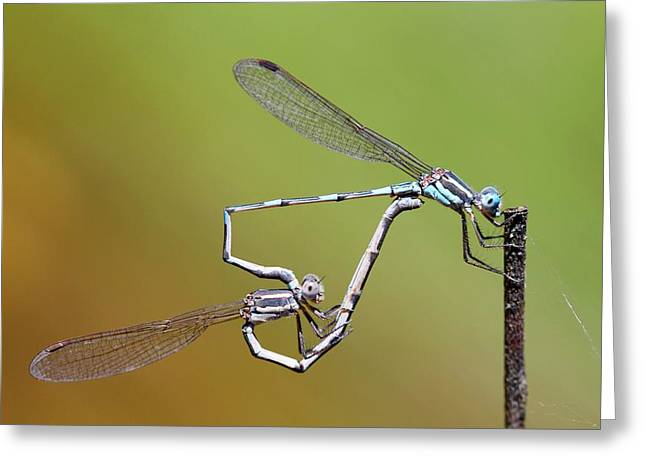 Blue Ringtail Damselflies Mating Greeting Card by Gerry Pearce