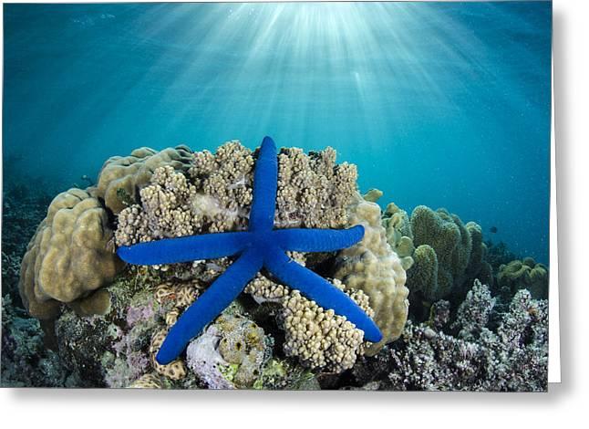 Blue Sea Star Fiji Greeting Card by Pete Oxford