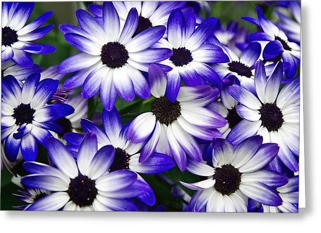 Senetti Photographs Greeting Cards - Blue Senetti Greeting Card by Susie Peek
