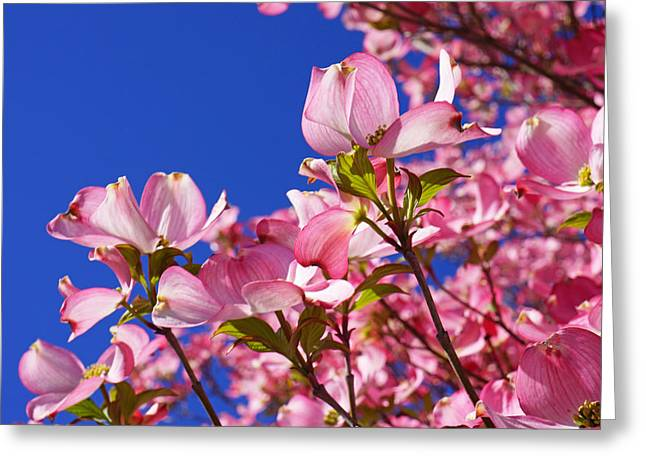 Blue Sky Art Prints Pink Dogwood Flowers Greeting Card by Baslee Troutman