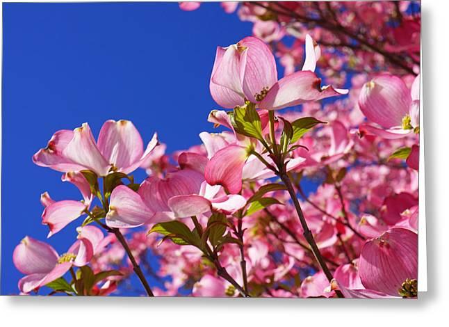 Pink Flower Prints Greeting Cards - Blue Sky Art Prints Pink Dogwood Flowers Greeting Card by Baslee Troutman