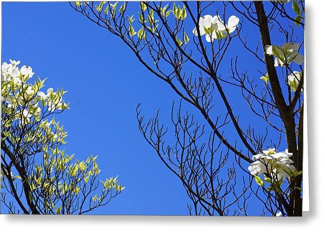 Pink Flower Branch Greeting Cards - Blue Sky Art Prints Spring Dogwood Flowers Branches Greeting Card by Baslee Troutman