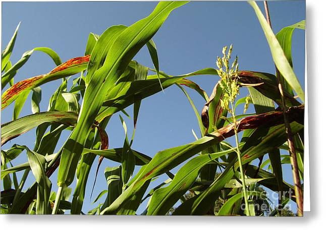 Hayride Greeting Cards - Blue Sky Corn Field Greeting Card by D Hackett