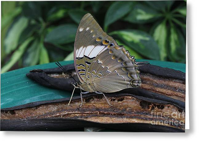 Eating Entomology Greeting Cards - Blue-spotted Charaxes Butterfly Greeting Card by Judy Whitton