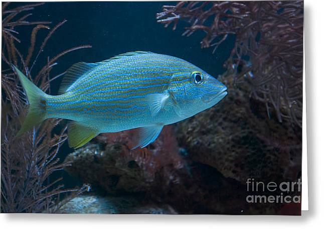 Grunts Greeting Cards - Blue Striped Grunt Greeting Card by Photos By  Cassandra