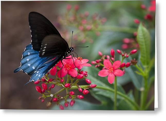 Blue Swallowtail Butterfly  Greeting Card by Saija  Lehtonen
