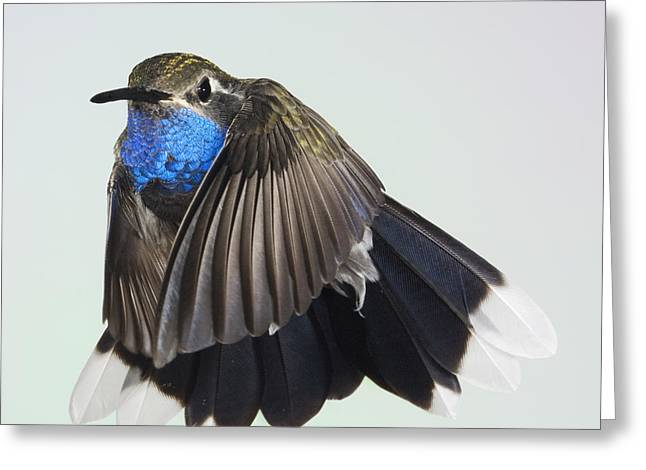 Eyelash Greeting Cards - Blue Throated Hummingbird Greeting Card by Gregory Scott