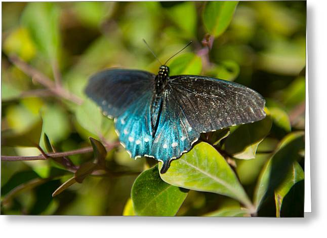 Invertebrates Photographs Greeting Cards - Blue Tinted Butterfly On A Leaf Greeting Card by Panoramic Images
